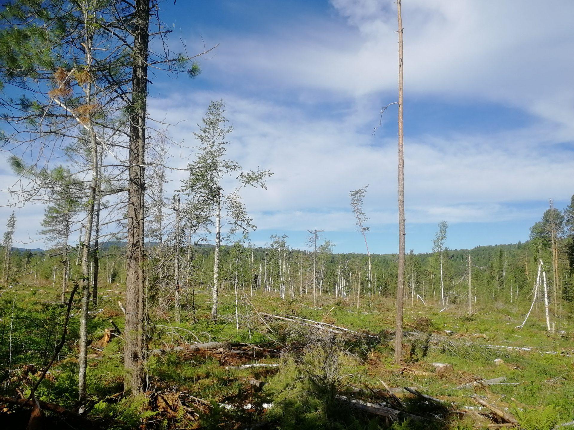 Вырубки в Турочакском районе Республики Алтай