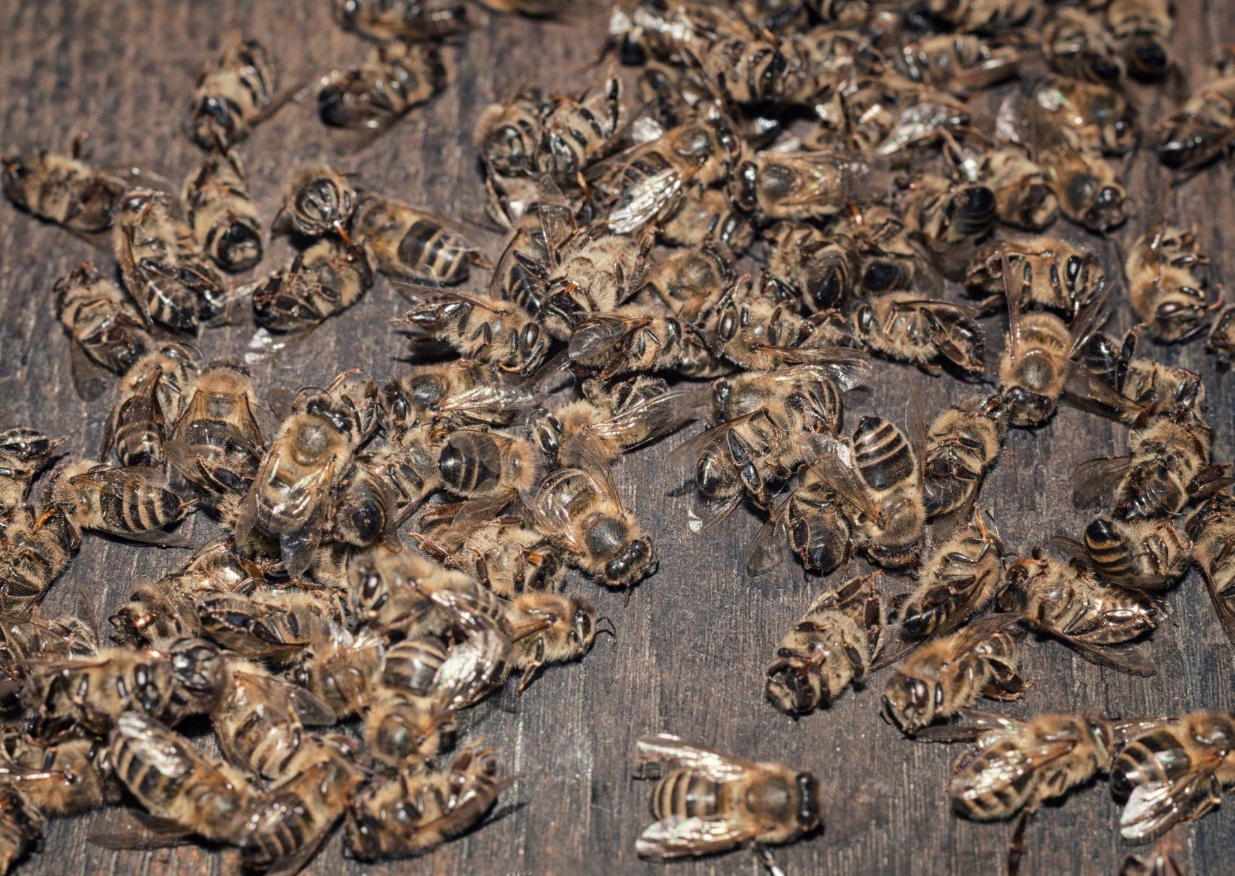 Выживут ли пчелы? В России вводят законы для пчеловодов