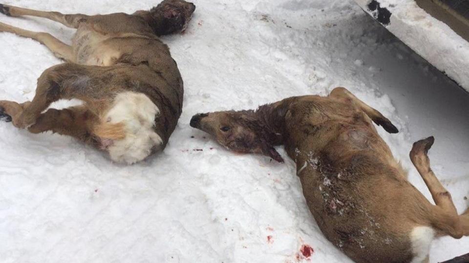 В Саратовской области браконьеры давили заживо косуль на снегоходах