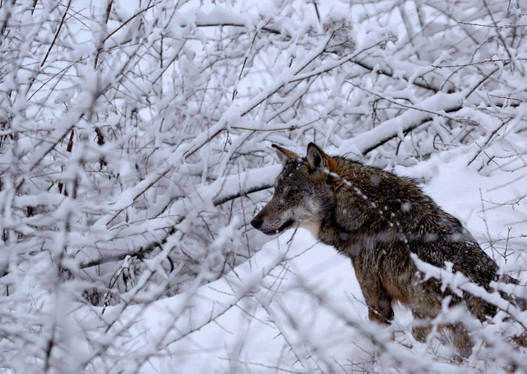 Водитель, который на видео «давил волков», ушел от наказания