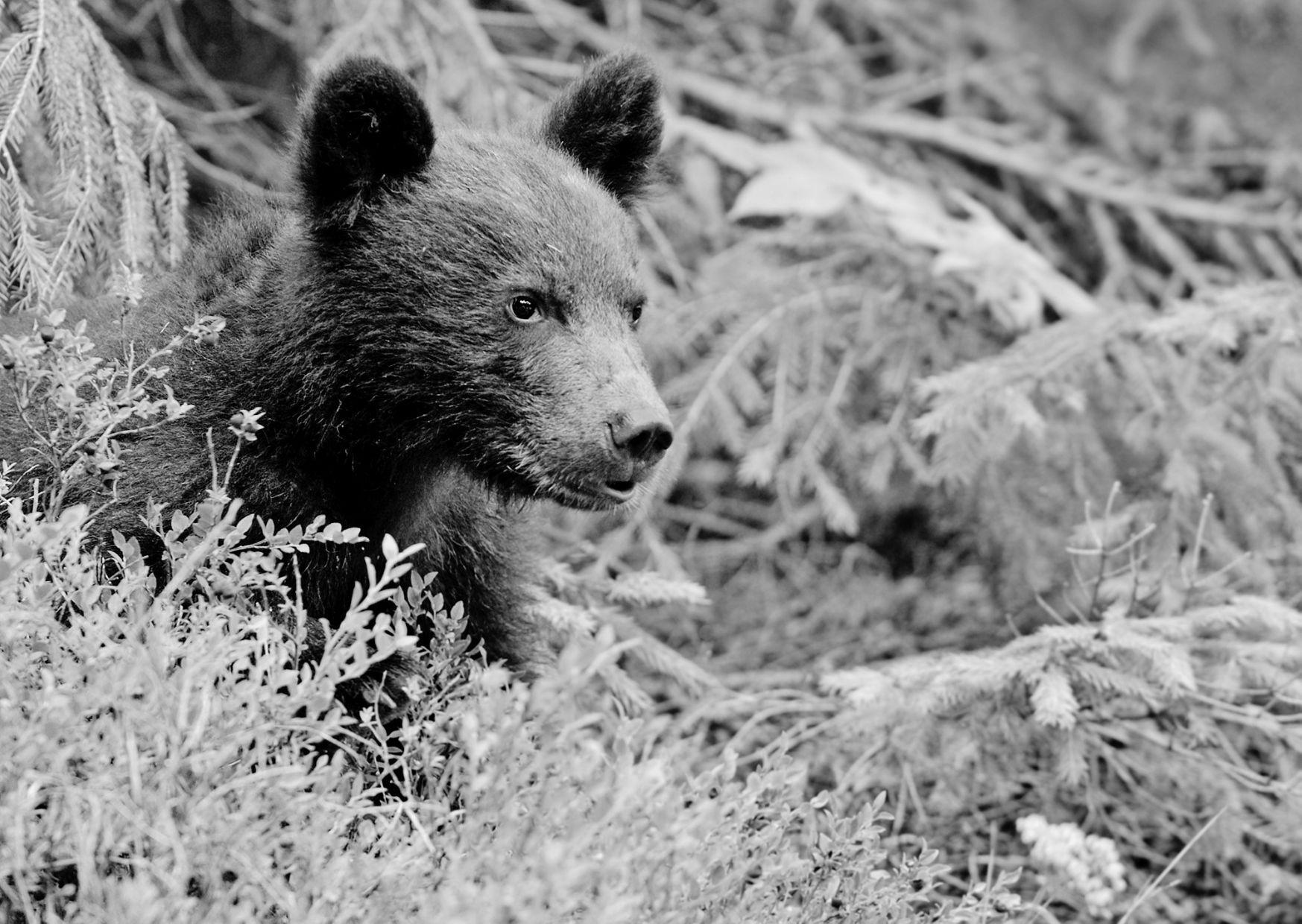 Медвежонка застрелили на кладбище
