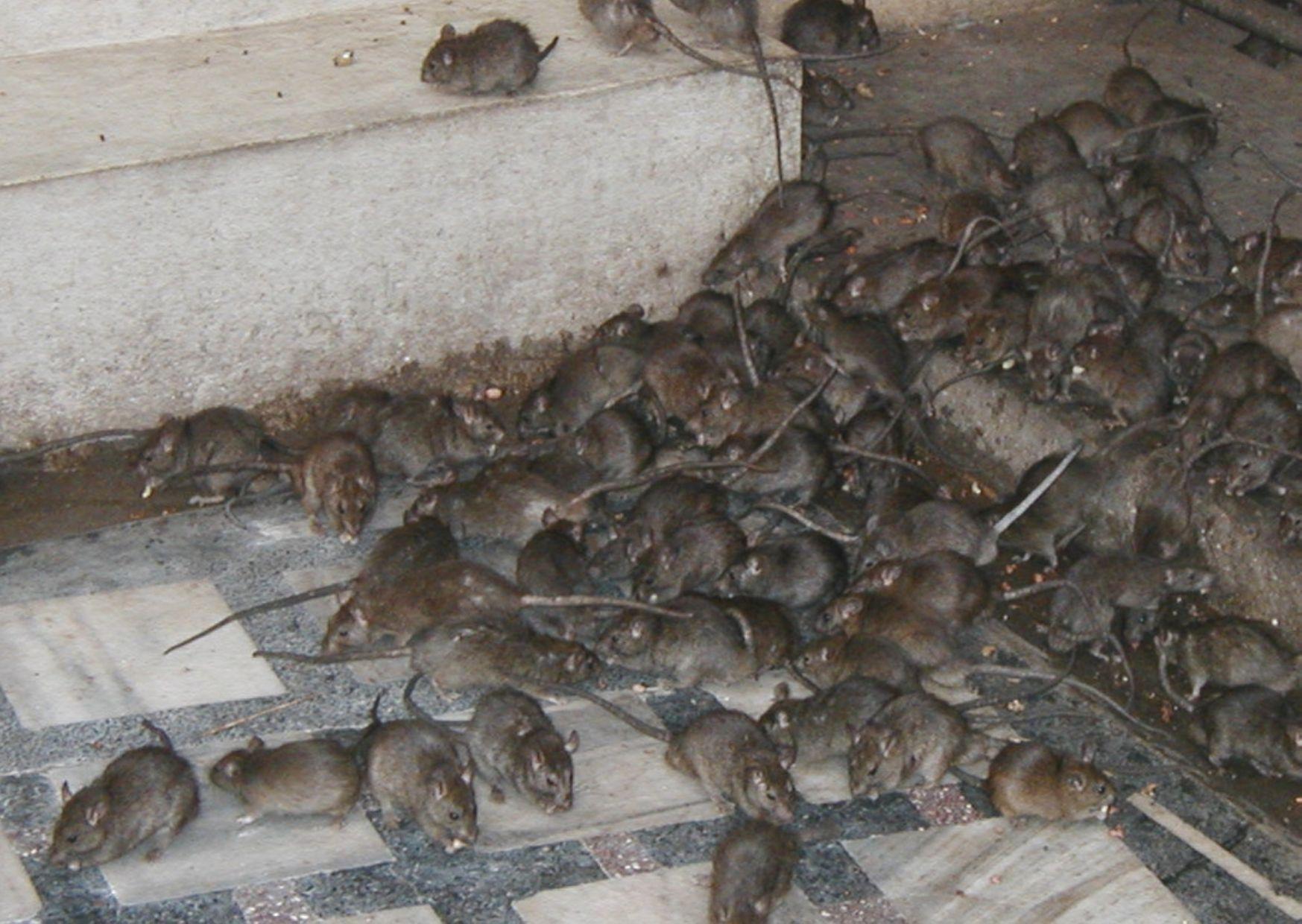 В Австралии нашествие мышей из-за экологической деградации