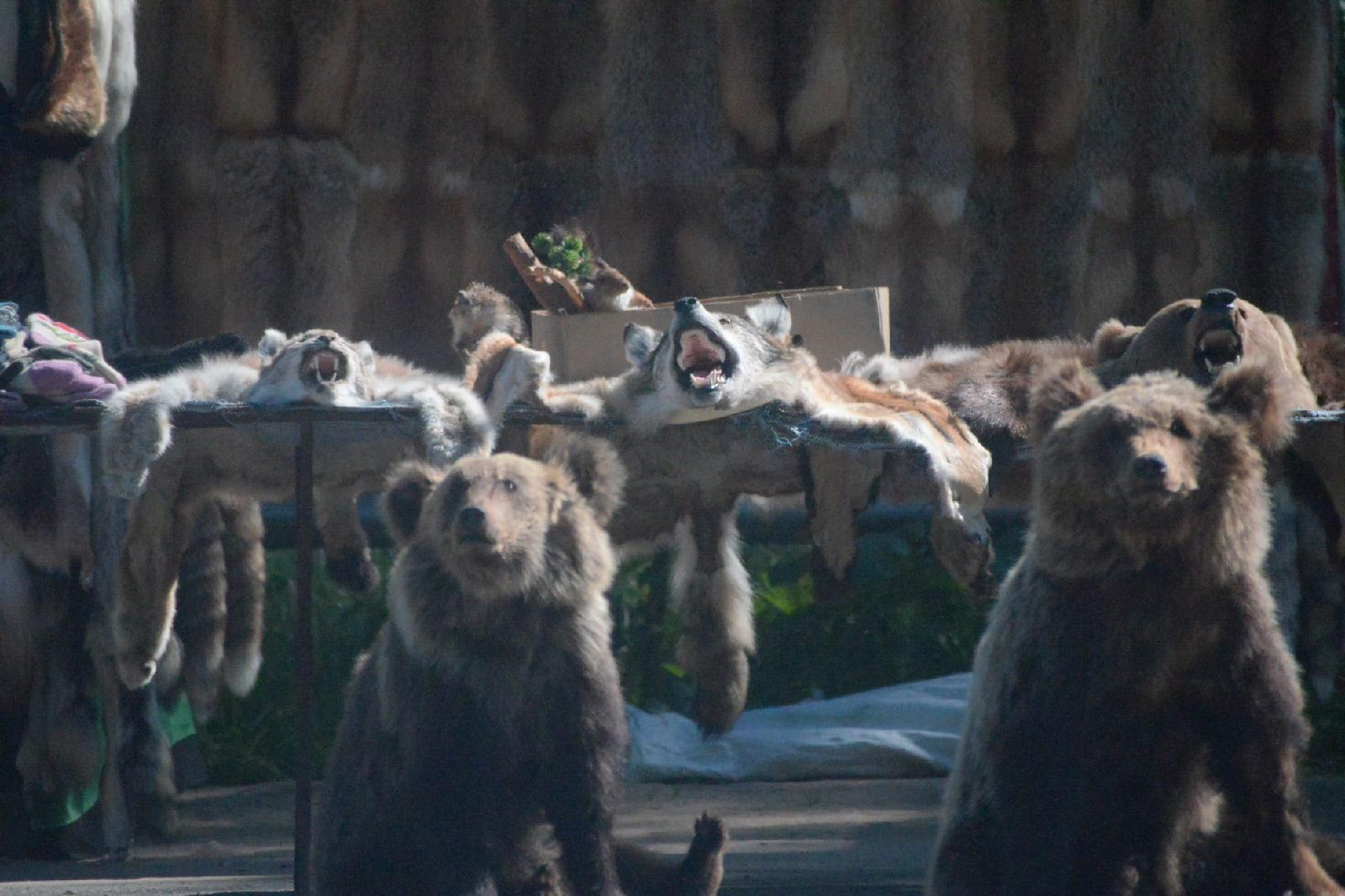 Концлагерь для медведей: как из медвежат добывают желчь